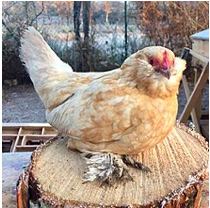 10 Weirdest Chicken Breeds in the World